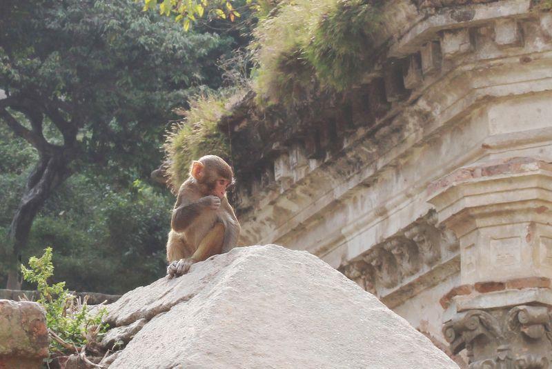 животные, Катманду, Непал ***photo preview