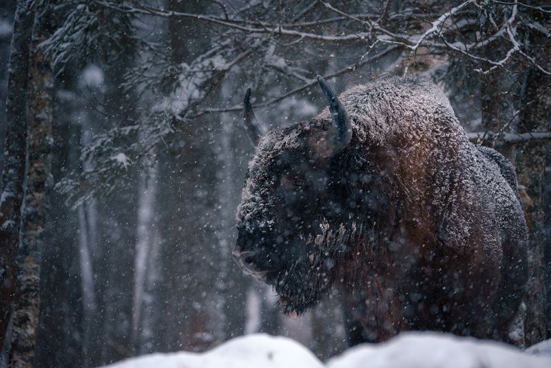 зубр, заповедник, калужские засеки, метель, зима, снег, животные Лесной исполинphoto preview