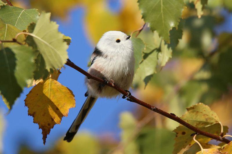 осень, синица, длиннохвостая, ополовник, чумичка, Рига, Латвия, Long-tailed Tit, Aegithalos caudatus,  Вот бы лето не кончалось...photo preview