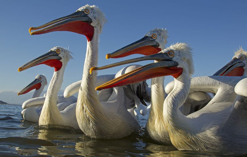pelicansphoto preview