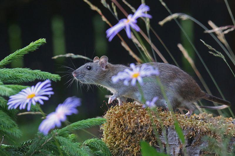 серая, крыса, цветы, brown rat, rattus norvegicus, Эй, фотограф, Рыжик спит?photo preview