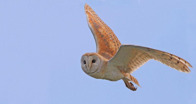 animals,birds,barn owl,7d,400mm, животные,птицы,рыба,сипуха Неожиданная встречаphoto preview