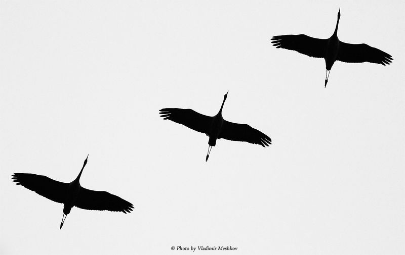 Trio. BW version. Gray Cranes. Серые Журавли. (Lat. Grus Grus).photo preview