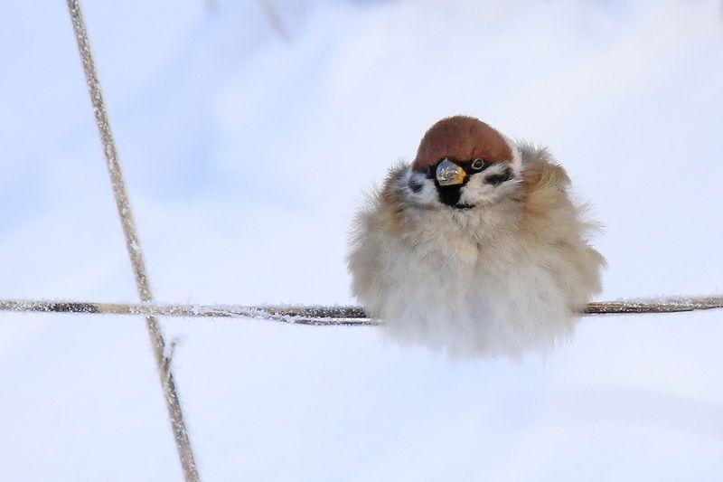 полевой, воробей, passer montanus, tree sparrow, - Сам ты толстый!photo preview