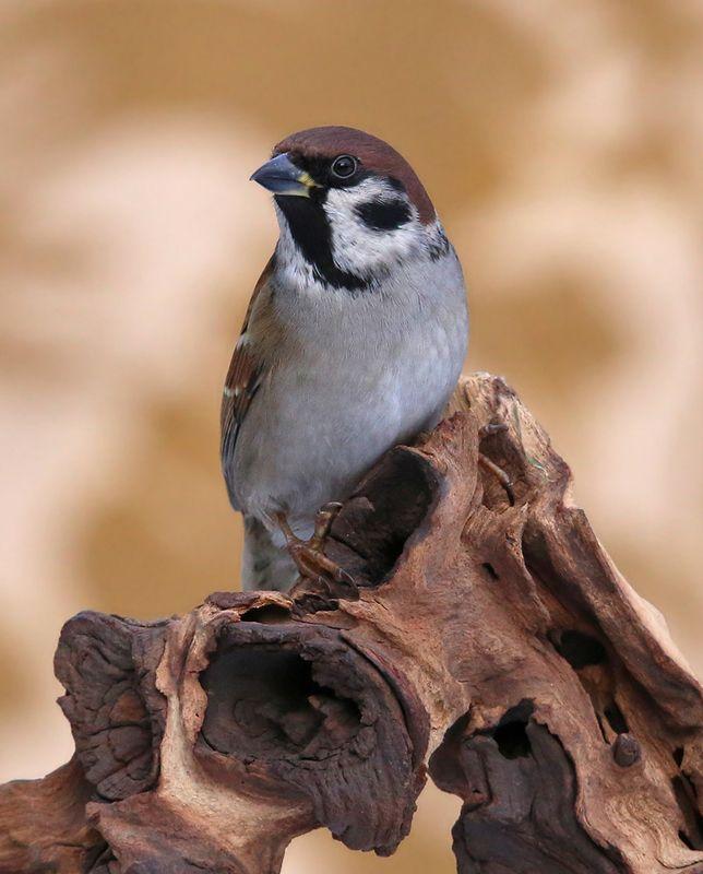 полевой воробей, tree sparrow, passer montanus, lauku zvirbulis,riga, latvia, Тренировка на кошках.photo preview