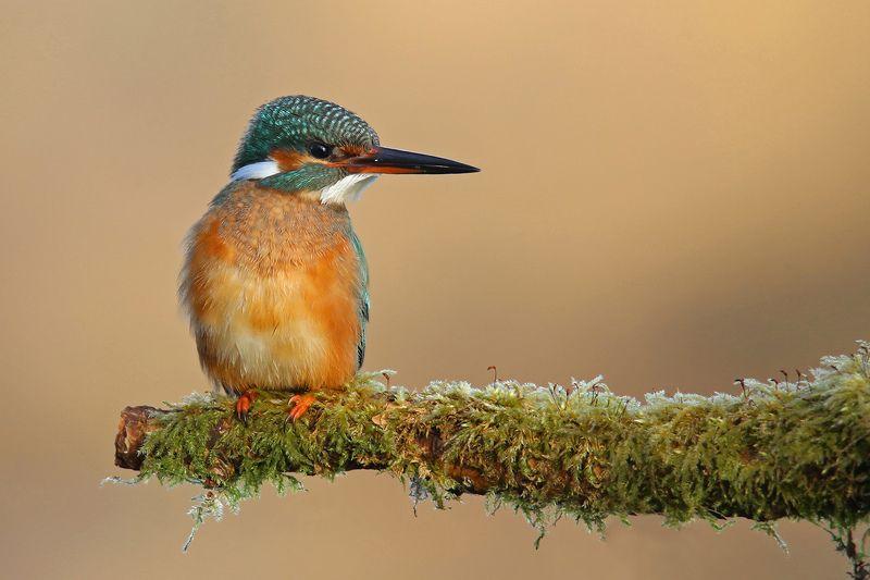 голубой зимородок, обыкновенный, common kingfisher, alcedo atthis, zivju dzenītis, riga, latvia, Вспоминая лето...photo preview