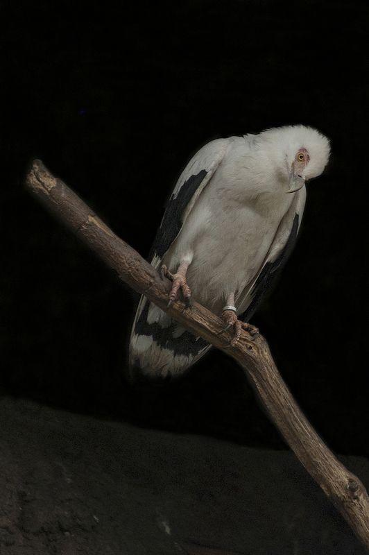 vautour palmistephoto preview