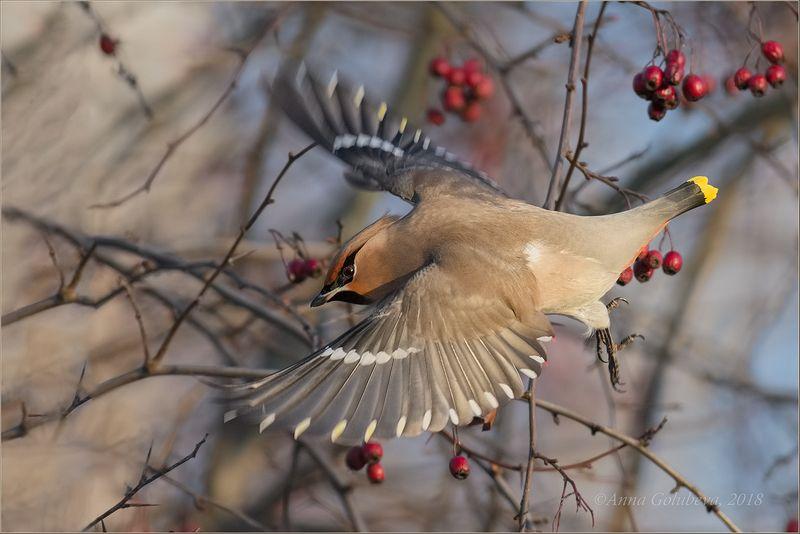 птицы, природа, свиристель, bombycilla garrulus, bohemian waxwing, январь, зима, 2018, москва, куркино Прыжокphoto preview