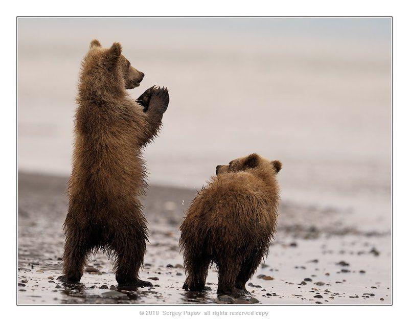 медведи, дикая природа, фотографии дикой природы, аляска Рыбу проси!!!photo preview