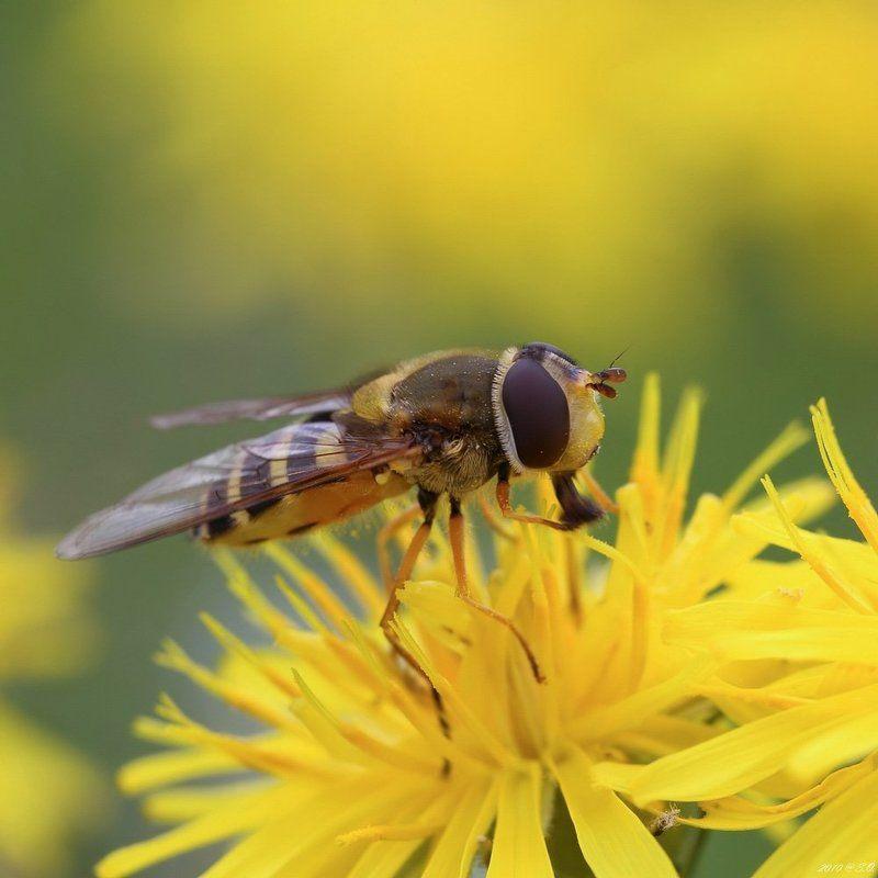 макро,журчалка,hoverfly,flower fly,schwebfliege,stehfliege,schwirrfliege,syrphidae Солнечнаяphoto preview