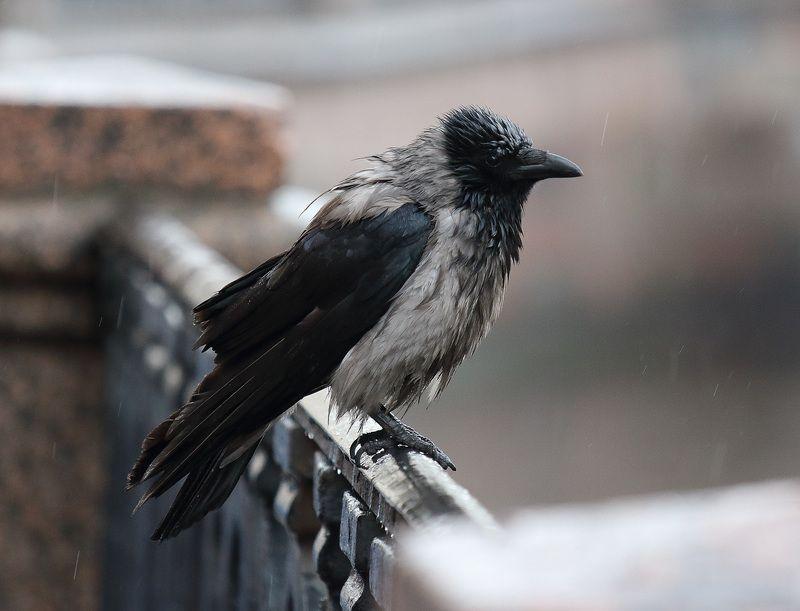 ворона фотоохота дождь птица Грустная ворона под дождёмphoto preview