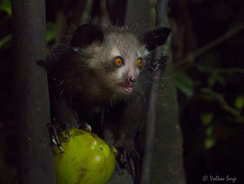 руконожка, ай-ай, daubentonia madagascariensis, мадагаскар, фотоохота, дикие животные, wildlife, pentax Гремлинphoto preview