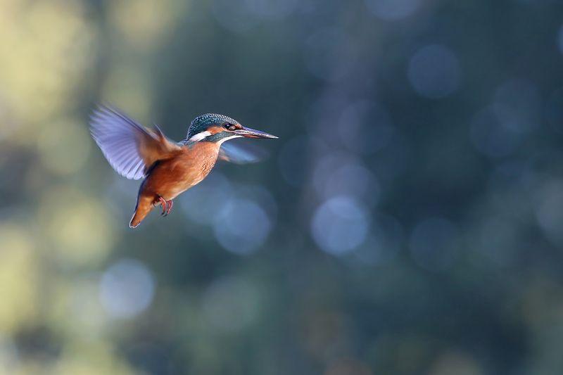 голубой зимородок, обыкновенный, common kingfisher, alcedo atthis, zivju dzenītis, riga, latvia, Только бы не упасть, только бы не упасть...photo preview