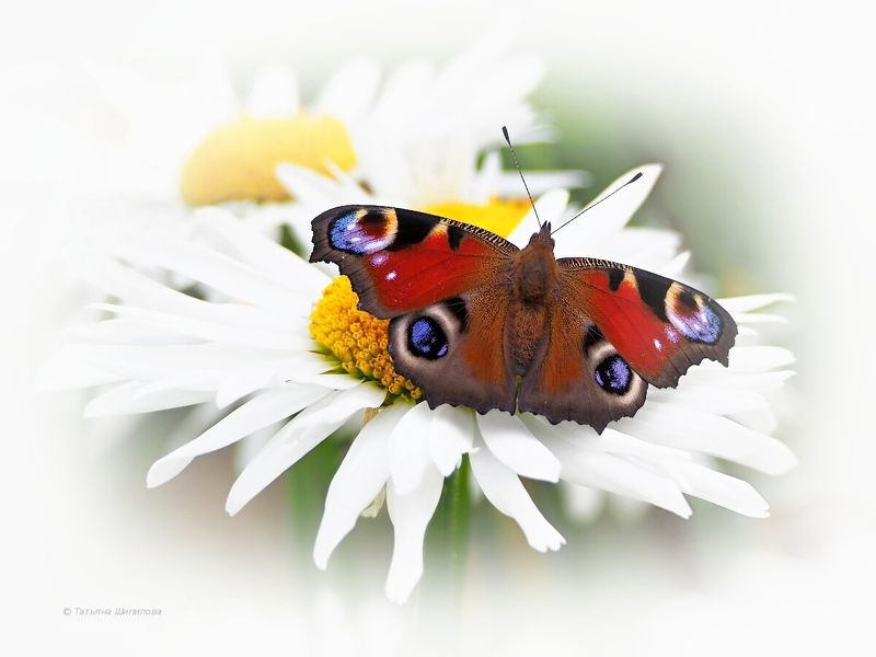 бабочка, павлиний глаз, inachis io, ромашки, лето, природа На крыльях лето...photo preview