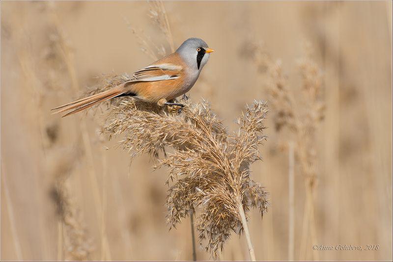 птицы, природа, синица усатая, panurus biarmicus, весна, март, 2017, краснодарский край Усатая синицаphoto preview