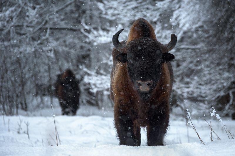 зубр, заповедник, калужские засеки, метель, зима, снег, животные, bison, animal, winter, snow Я из лесу вышел...photo preview