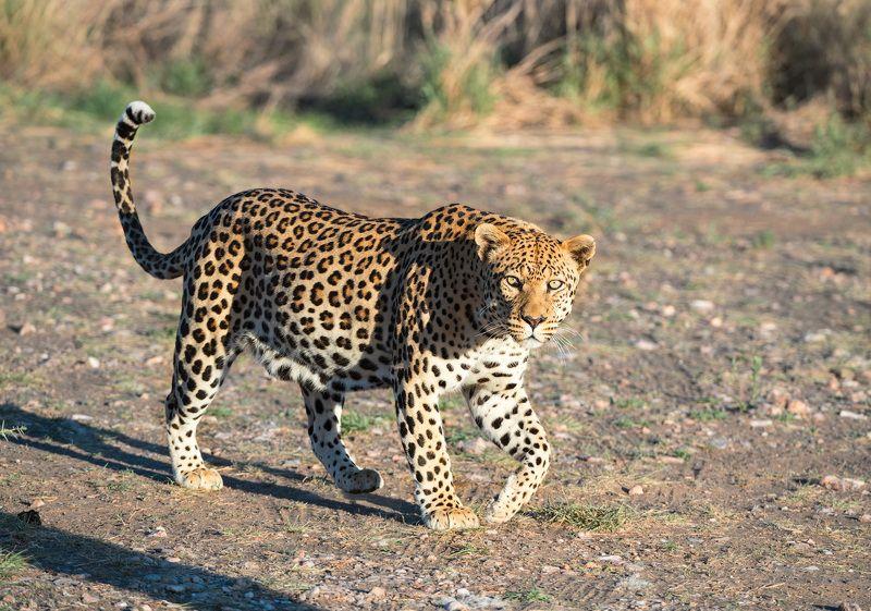 Кошка по-африканскиphoto preview