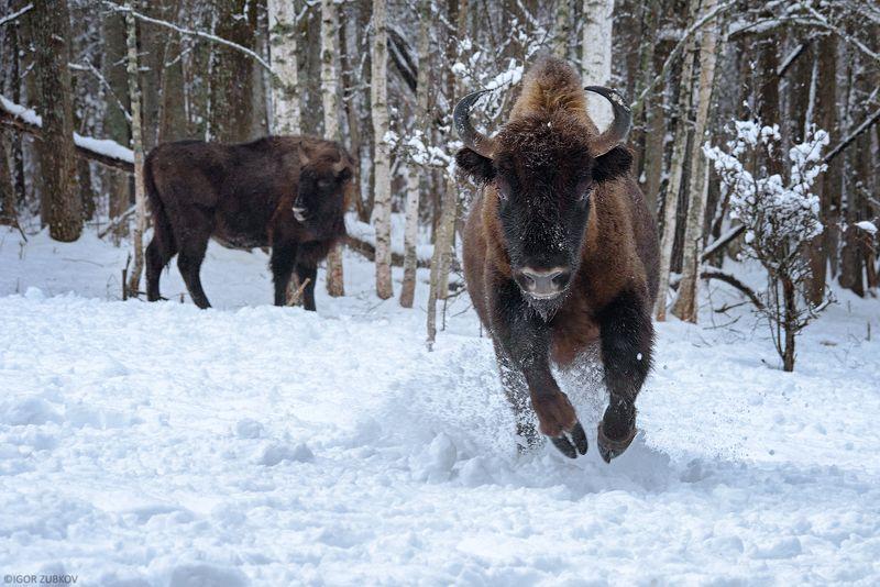 зубр, заповедник, калужские засеки, метель, зима, снег, животные, bison, animal, winter, snow Сейчас нас будут катать...photo preview