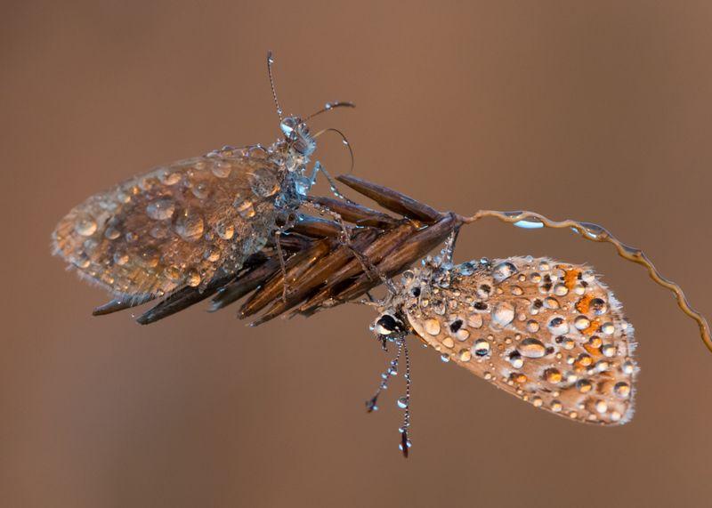 бабочка, утро, икар, лимонница С добрым утром!photo preview
