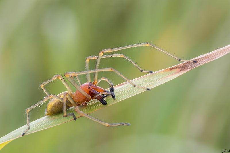 macro, makro, spider, wild, wildlife, nature Cheiracanthium punctoriumphoto preview