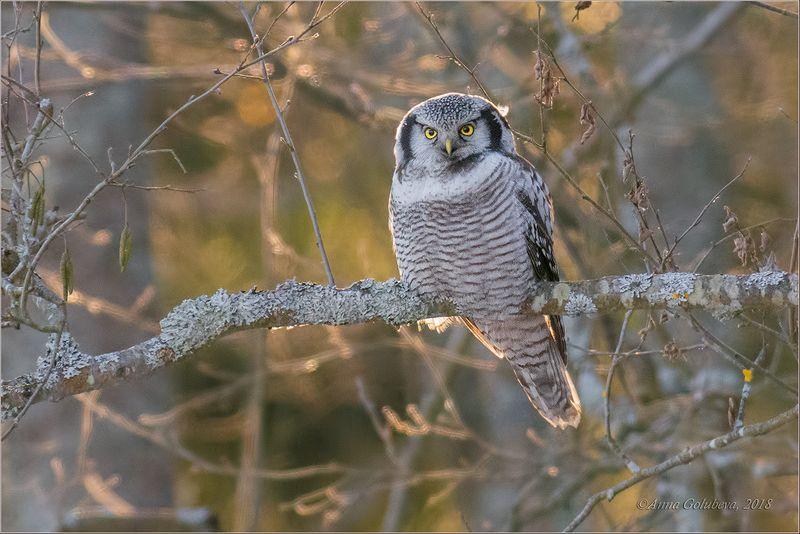 птицы, природа, surnia ulula, northern hawk owl, сова, ястребиная сова, зима, январь, 2018, подмосковье Ястребиная красавицаphoto preview