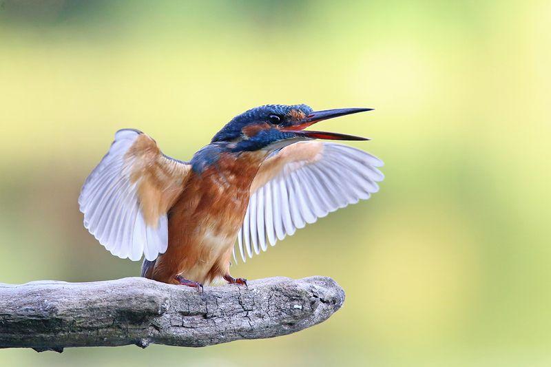 common kingfisher, alcedo atthis, зимородок, обыкновенный, голубой, zivju dzenītis, riga, latvia, Про крылья, ноги и... рукиphoto preview