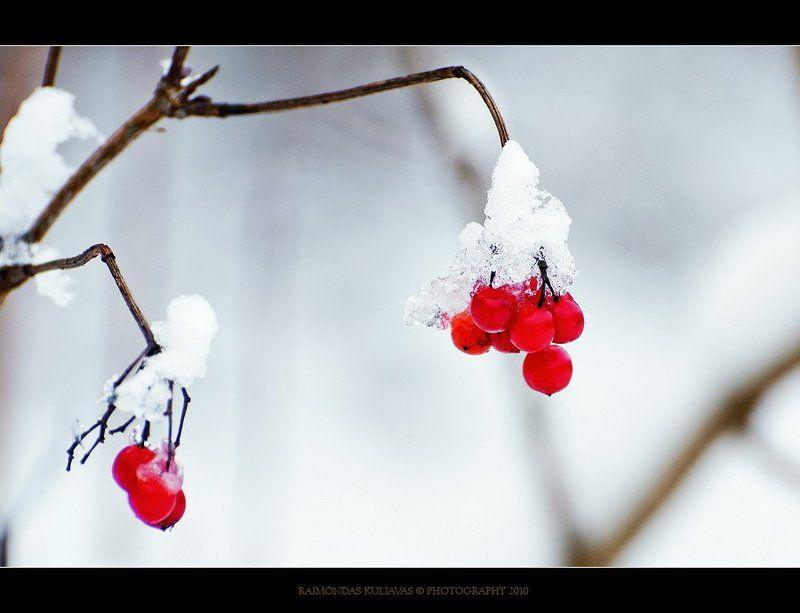 лед, snowball tree,viburnum opulus,калина обыкновенная, Лед и пламяphoto preview