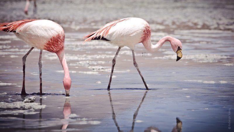 america, south america, америка, боливия, латинская америка, озеро, птицы, фламинго, южная америка Высокогорные фламинго в Боливииphoto preview