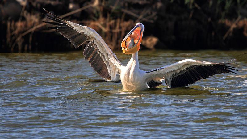 animals, birds, pelican,wildlife, 7D, 600mm, животные, птицы, рыба, пеликан, охота, рыбалка, дикая природа А вчера я словил воот такую!..photo preview