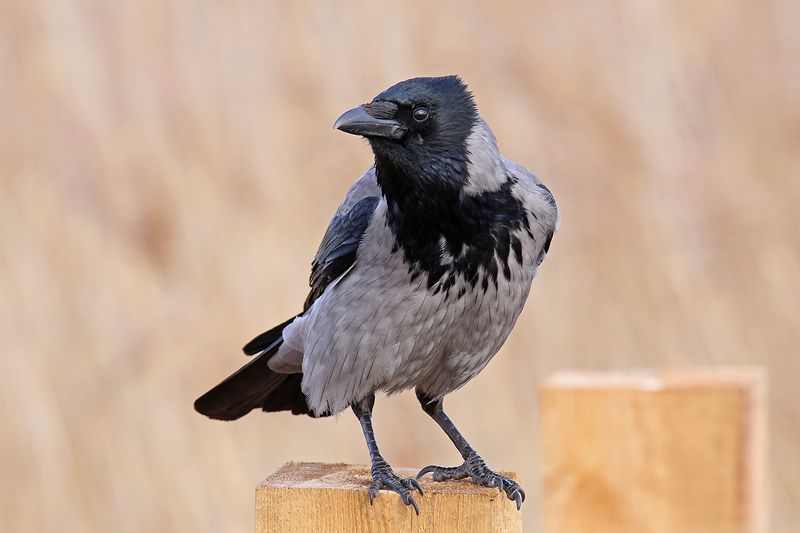 спой, светик, не, стыдись, crow, corvus cornix, серая, ворона, riga, latvia \