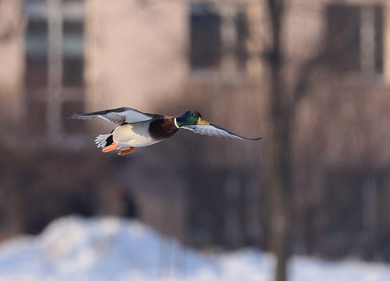 летящая уткаphoto preview