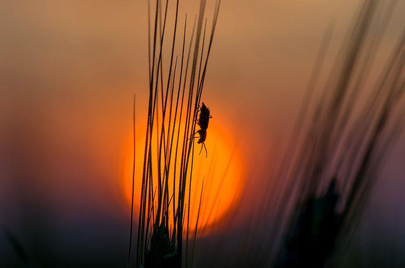 закат, солнце, колос, жук На закатеphoto preview