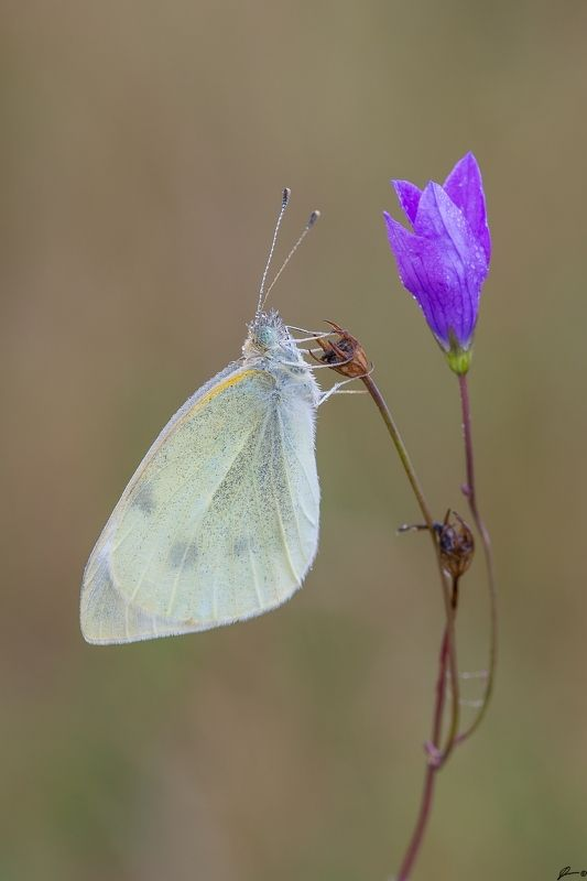 macro, makro, flowers, wild, wildlife, buttrrfly, nature, insects Pieris rapaephoto preview