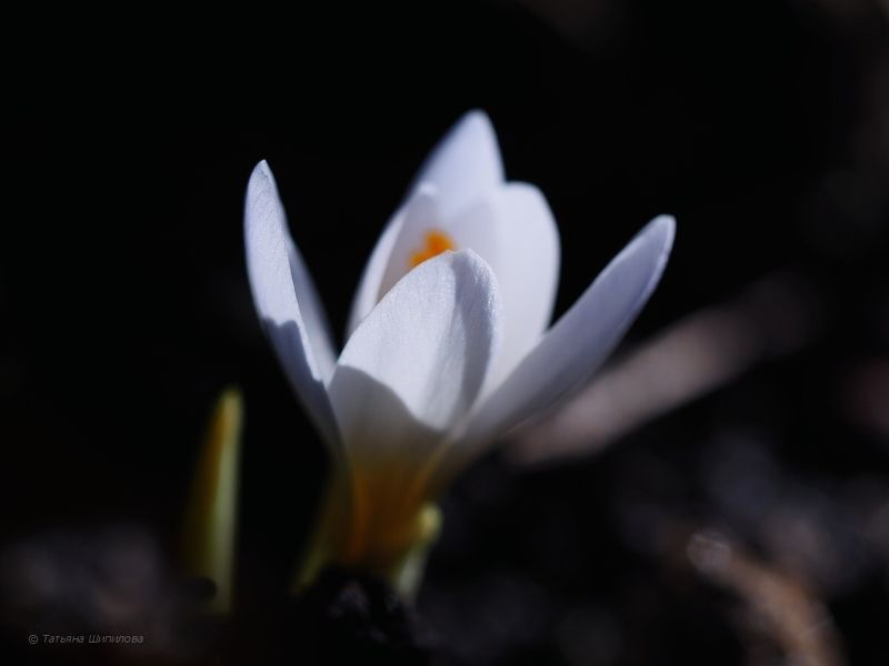 весна, макро, цветы, крокусы, мускари, нарциссы, мой сад, природа, красота, цветение Весна пришла!..photo preview