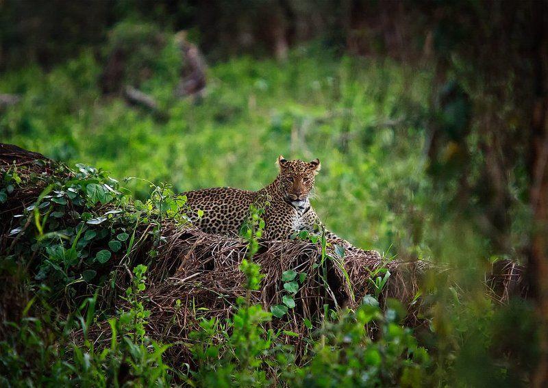 африка, кения, леопард В поисках леопардаphoto preview