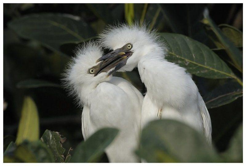 восточная, египетская, цапля;, bubulcus, ibis, coromandus;, птенцы Помалкивай!photo preview