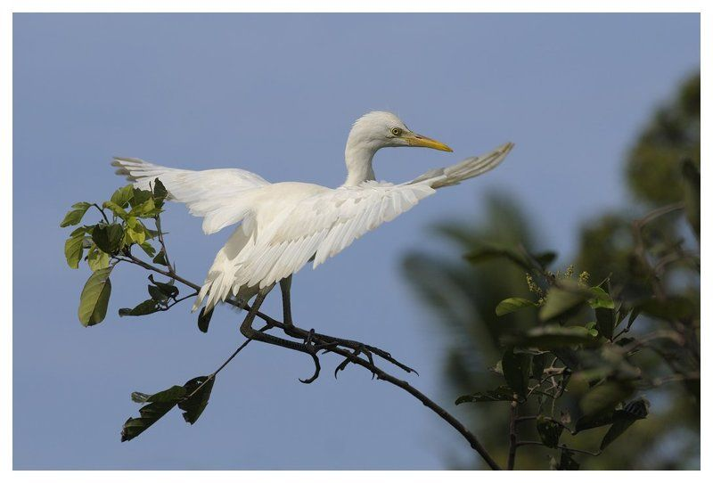 восточная егтпетская цапля, птенец, равновесие, бали, индонезия, bubulcus ibis coromandus, immature, balance, bali, indonesia Keep your balance!photo preview