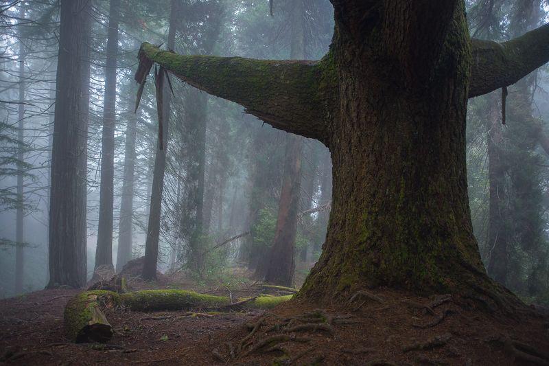 tree, misty, fog, туман, дерево, мох, мадейра, madeira, forest, лес, таинственный The old tree.photo preview