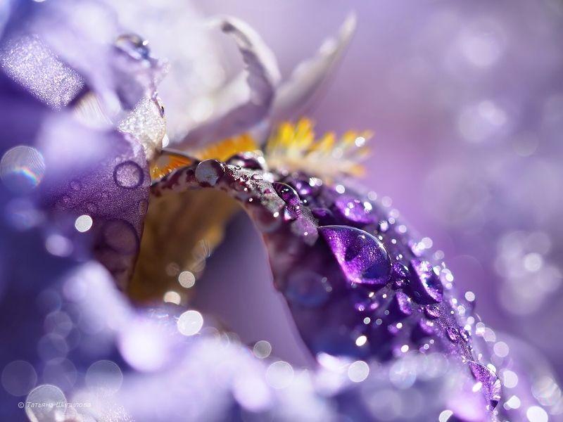 природа, nature, ирис, цветок, цветение ирисов, флора, iridaceae, iris, касатик, мой сад, московская область, россия Ирисы в моём садуphoto preview
