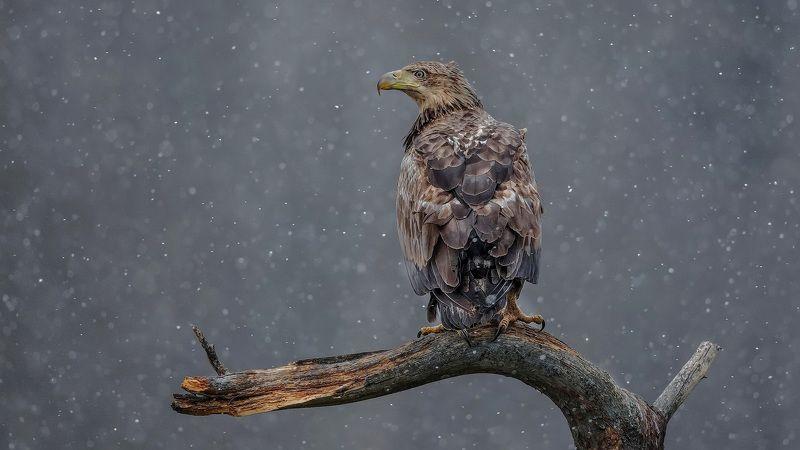 орлан белохвост haliaeetus albicilla white-tailed eagle Весна блудницаphoto preview