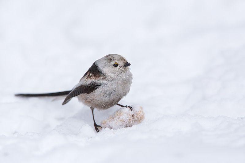 long-tailed tit, tit, bird, wildlife, ополовник, длиннохвостая синица. синица, птицы, дикая природа Гордый ополовникphoto preview