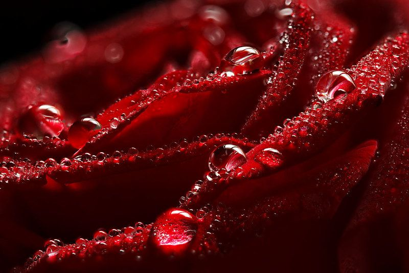 Тёмно красная розаphoto preview