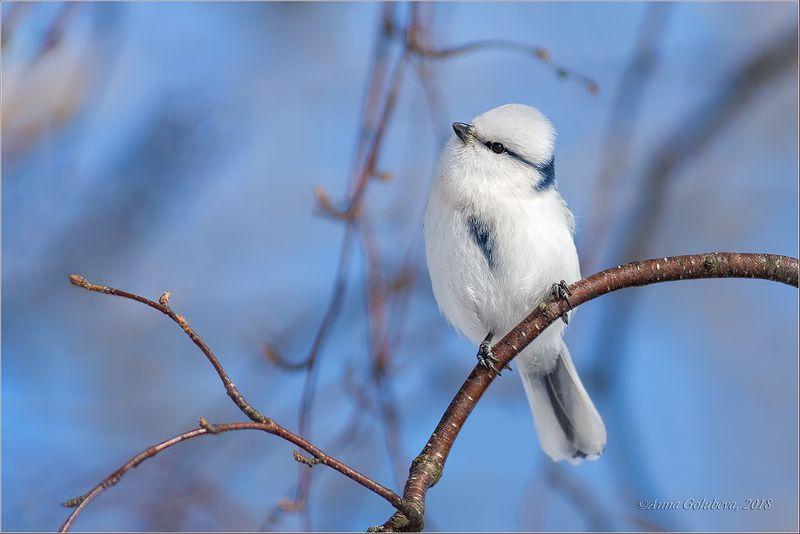 птицы, природа, cyanistes cyanus, azure tit, белая лазоревка, князёк, весна, март, 2018, подмосковье Князёкphoto preview