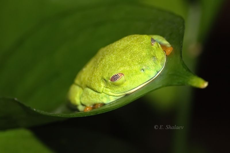 agalychnis callidryas,frog,red-eyed tree frog,амфибии,квакша,красноглазая квакша,лягушка Спят усталые лягушки .photo preview
