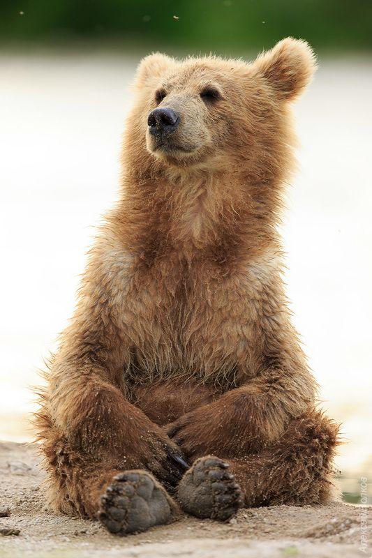 медведь, Камчатка Медитацияphoto preview
