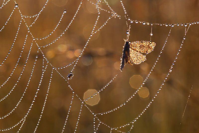 макро, насекомое, бабочка, роса, утро, природа, боке, петцваль Про утро, росу, паутинки и бокешки...photo preview