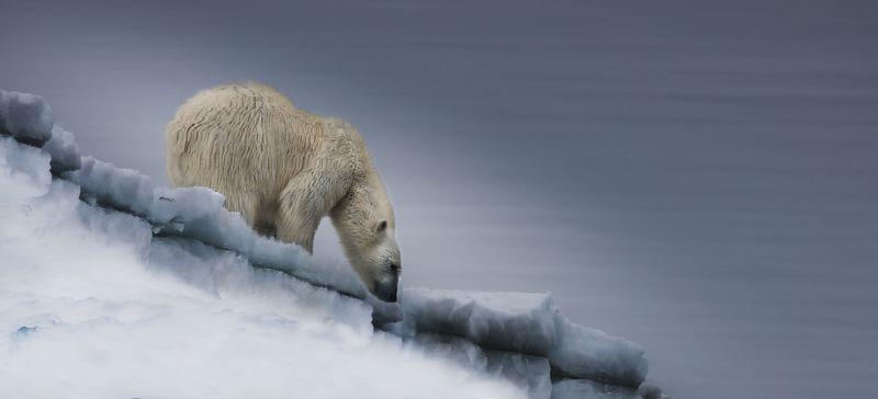 белый, медведь., арктика Зеркало Арктикиphoto preview