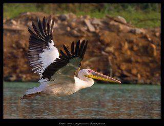 Розовый пеликан - Pelecanus onocrotalus