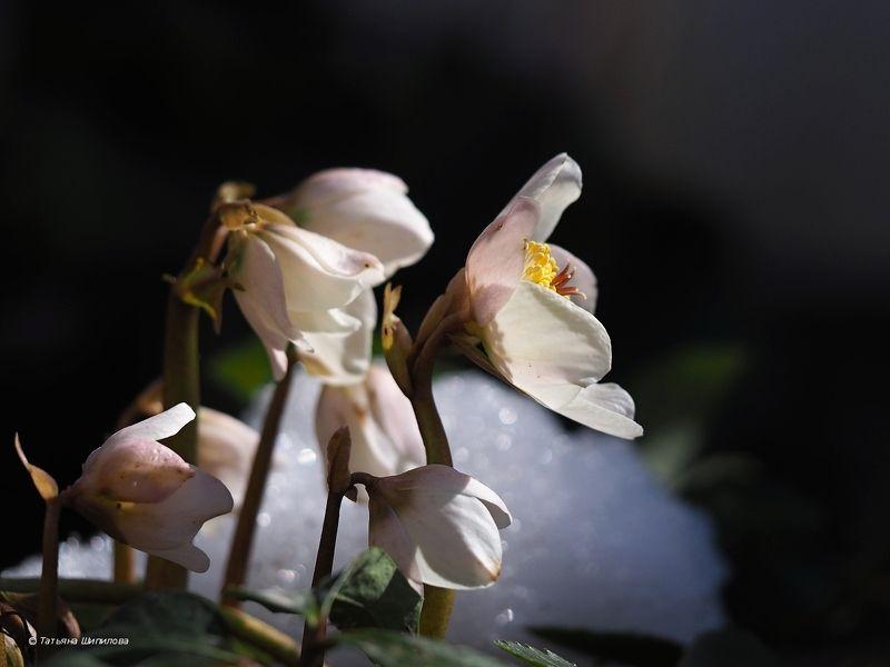 флора, морозник, морозник восточный, рождественская роза, helleborus, геллеборус, хеллеборус, зимовник, Морозник цветётphoto preview