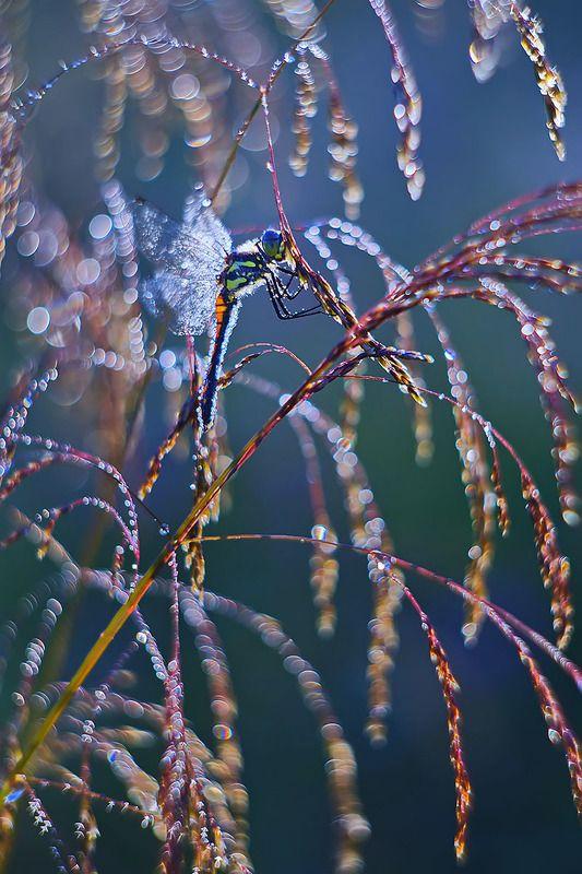 стрекоза, насекомое, утро, макро, природа, роса Стрекоза и утроphoto preview